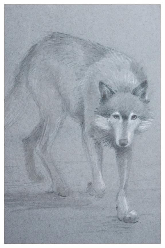 Wolf sketch by Kayla Woodside